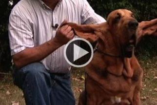 Conheça Tiger, o cãozinho mais orelhudo do livro dos recordes