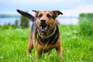 Saiba o que fazer para que o estresse não volte a atormentar o seu cão