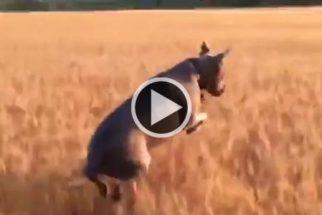 Eufórico: Cãozinho não esconde alegria pula em meio a plantação de trigo