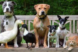 Família composta por cães, patos e um gato faz sucesso no Instagram