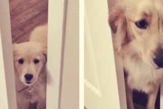 Série mostra fotos de infância de cães recriadas com eles já adultos
