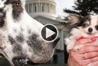 Guinness divulga vídeo de pets que já foram o maior e menor cão do mundo
