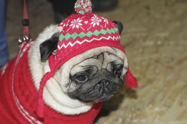 Os cuidados com a respiração dos cães durante o inverno