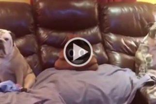 Para rir: Em vídeo, casal de buldogues assiste TV e faz sucesso na web