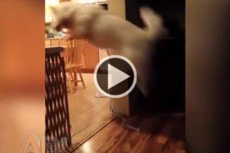 Por força do hábito, cãozinho fofo salta divisória 'invisível' enquanto brinca