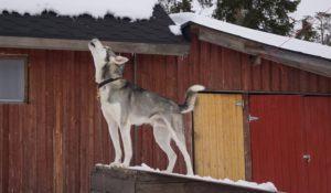 A howling siberian huskey before a barn