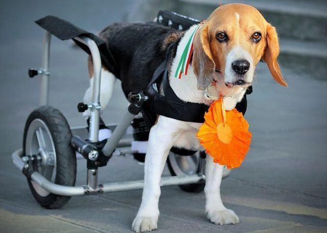 Responsabilidade: dicas para adotar um cãozinho deficiente