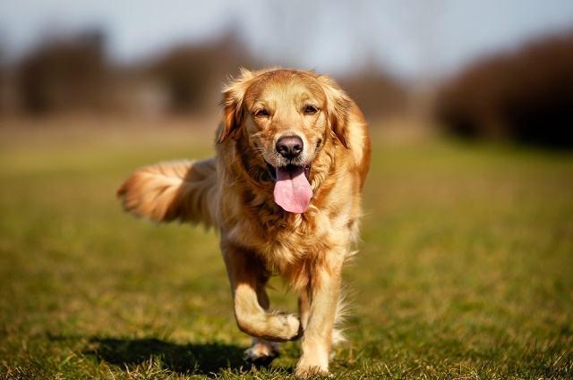 Suor canino: Como os cachorros transpiram?