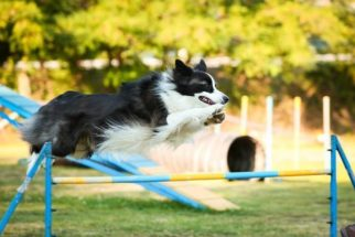 Agility: obstáculos e muita diversão para seu pet
