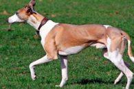 Aprenda como cuidar adequadamente de um cão Whippet