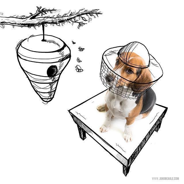 beagle-juno-como-apicultor