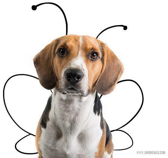 beagle-juno-como-borboleta