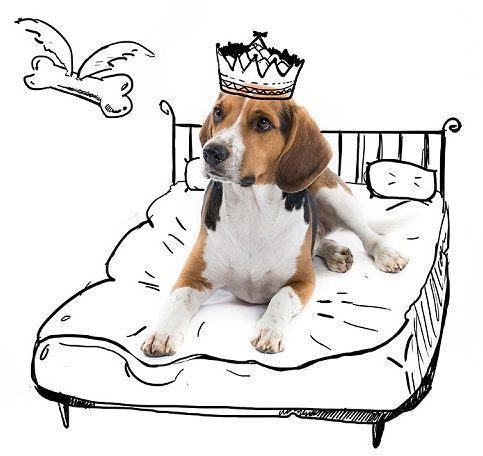 beagle-juno-como-rei