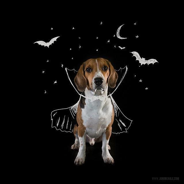 beagle-juno-como-vampiro