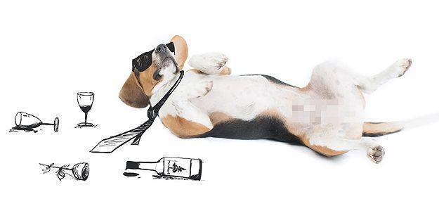 beagle-juno-dormindo-apos-bebedeira