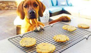cachorro-com-cara-de-pidao-querendo-biscoitos