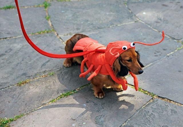 cachorro-com-roupa-de-lagosta