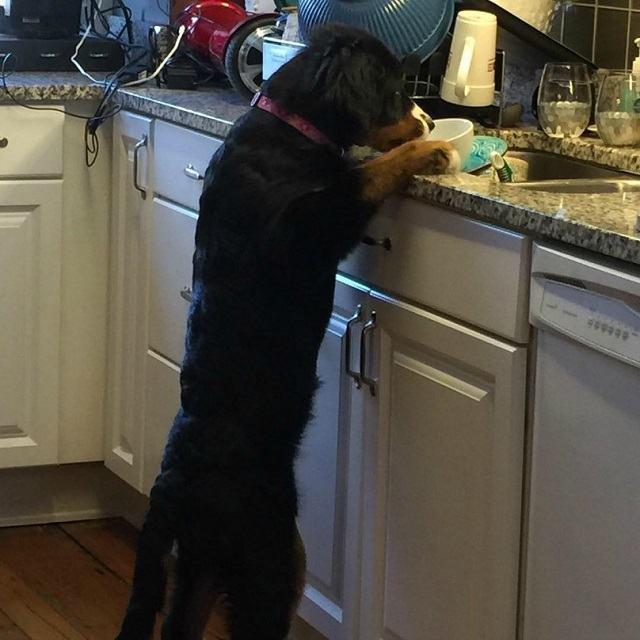 cachorro-olhando-pratos-sujos-na-pia