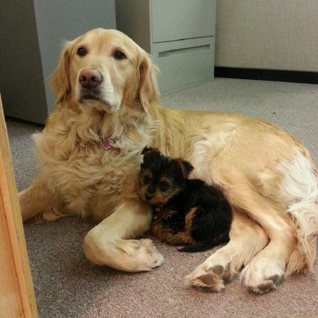 cachorro-que-levou-filhote-adotado-para-o-trabalho