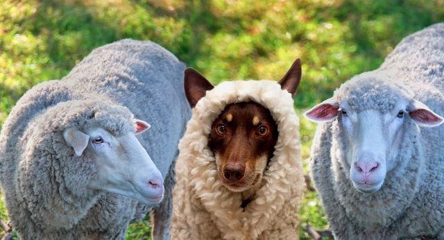 cachorro-vestido-de-ovelha