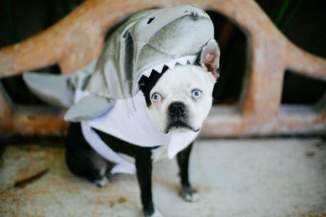 cachorro-vestido-de-tubarão