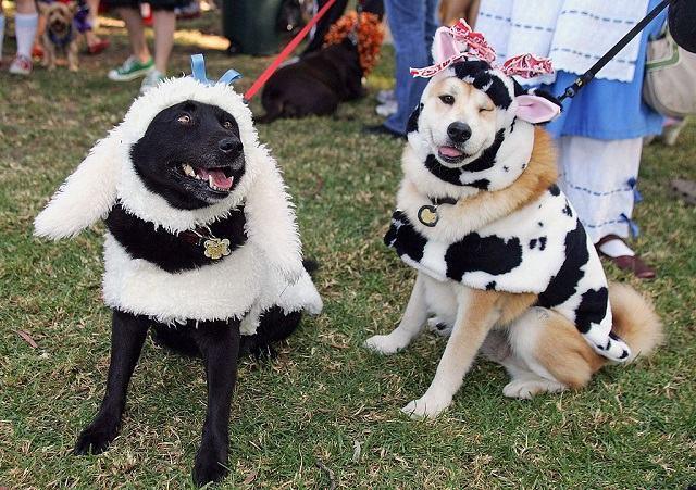 caes-com-roupa-de-ovelha-e-vaca