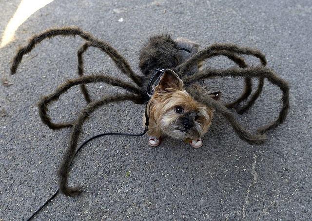 cao-aranha