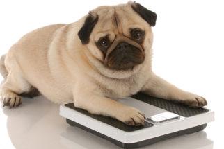 O que posso fazer para engordar o meu cachorro