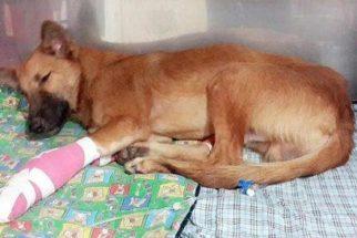 Cão ganha próteses após ter patas cortadas por espada
