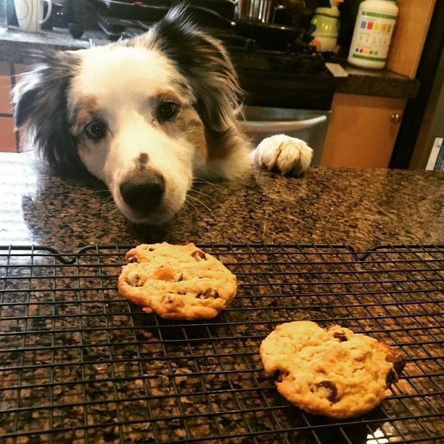 caozinho-de-olho-em-biscoitos