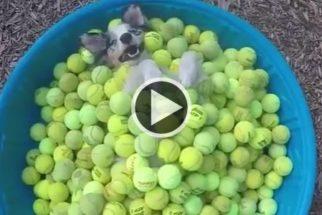 Cãozinho dentro de banheira de bolinhas de tênis é pura alegria!