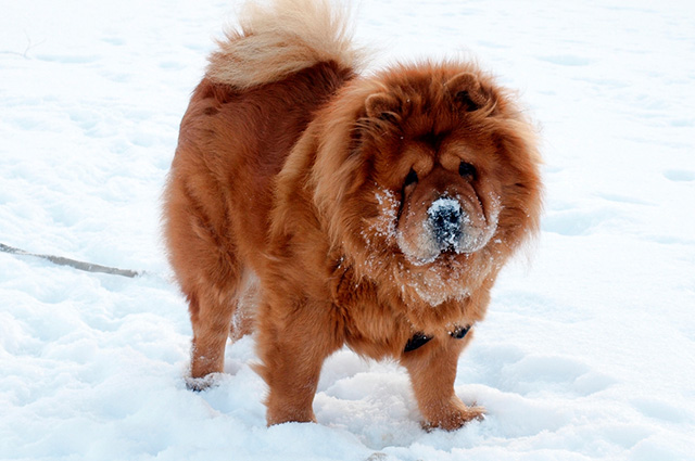 Cachorro chow chow na neve