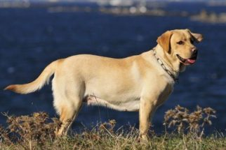 Como devo cuidar de um cachorro da raça Labrador?