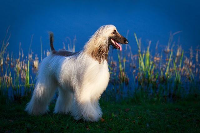 Raças de cães que combinam com cada signo do zodíaco afghan