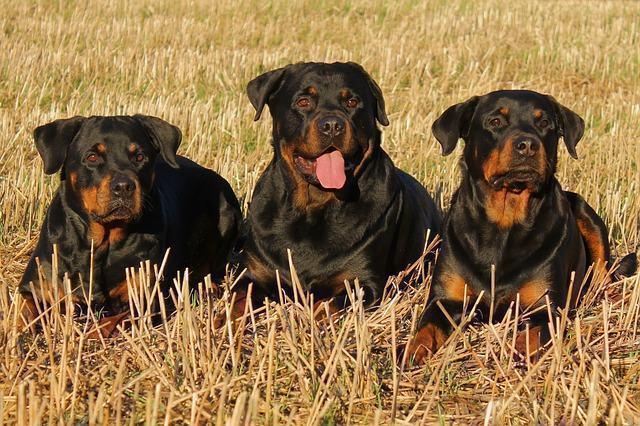 confira-as-racas-de-caes-que-combinam-com-cada-signo-do-zodiaco rottweiler