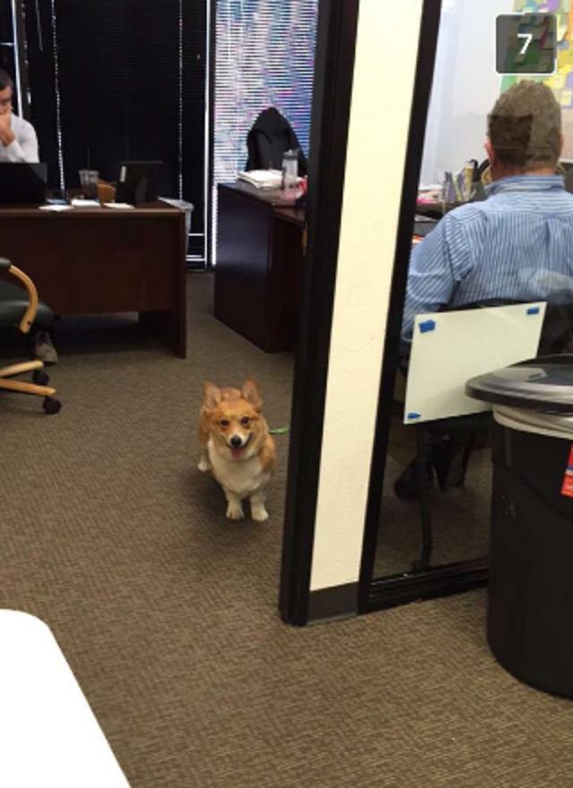 corgi-dentro-de-escritorio