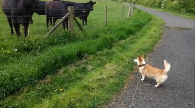 corgi-sem-medo-encara-vacas