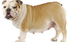 pregnant dog - english bulldog 4 weeks pregnant on white background