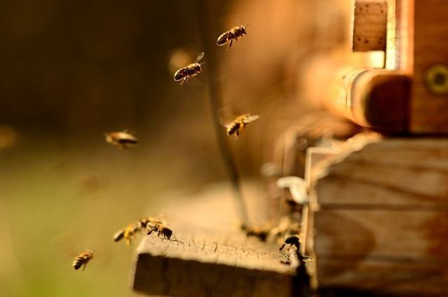 Descubra como tratar picada de abelha em cachorro