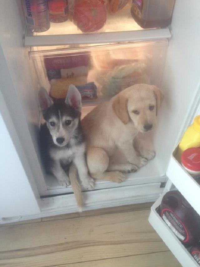dupla-de-caes-pega-tentando-roubar-comida-da-geladeira