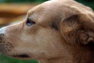 Entenda como tratar a picada de marimbondo no seu cão