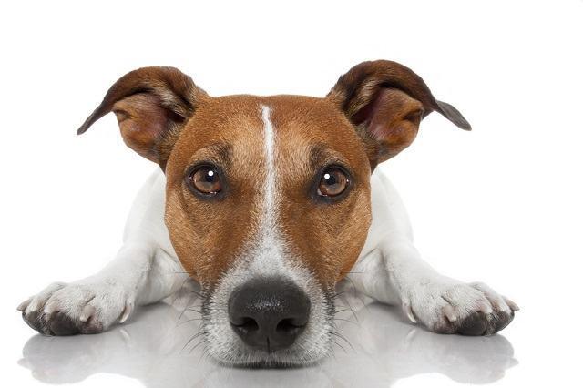 Entenda o porquê dos cães montarem nas pessoas