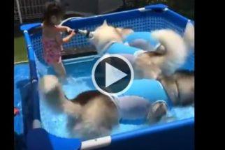 Fofura: garotinha se diverte brincando com huskies em piscina