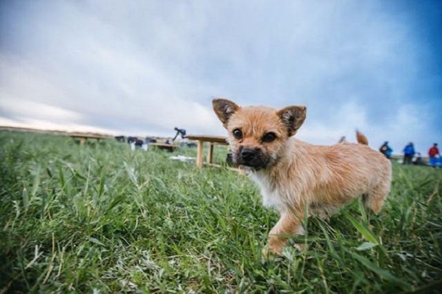 gobi-a-cadelinha-abandonada-que-percorreu-metade-de-maratona-de-seis-dias