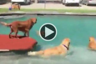 Golden retrievers brincam e se refrescam em parque aquático