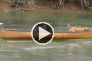 Herói: labrador salva dois cães presos em canoa