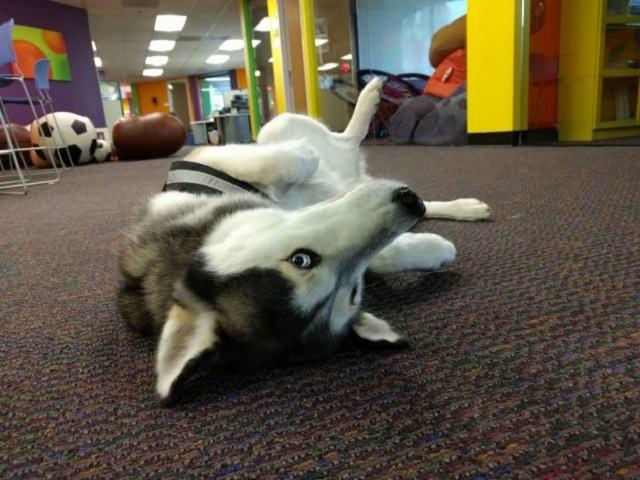 husky-deitado-no-chão