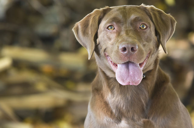 O labrador é um cão brincalhão e bagunceiro, sendo necessário o adestramento desde cedo