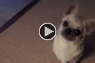Para rir: cadelinha 'pira' quando seu tutor a chama para passear