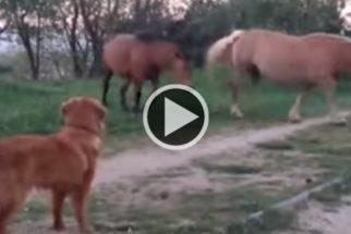 Para rir: cãozinho tenta ficar amigo de cavalos e não é correspondido